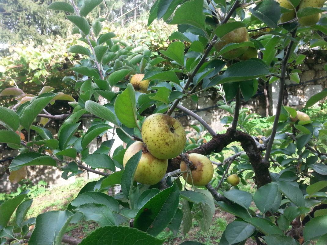 manzanas - vegetales feos